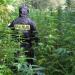 Marihuana w Gminie Końskie wyróżniające